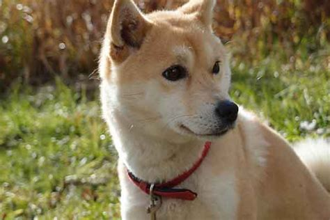 shiba shed a guide to shiba inu shedding causes and solutions