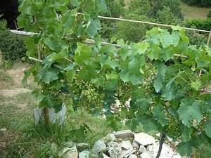 Achat Pied De Vigne Raisin De Table : un cep de vigne bien garni vigne danuta raisin de table sans p pin le jardin de salom ~ Nature-et-papiers.com Idées de Décoration