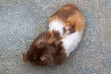 syrian hamster black  white