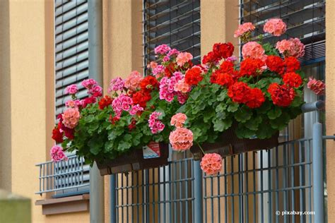 Balkonpflanzen Pflegeleicht Robust pflegeleichte balkonpflanzen 11 sch 246 ne und robuste