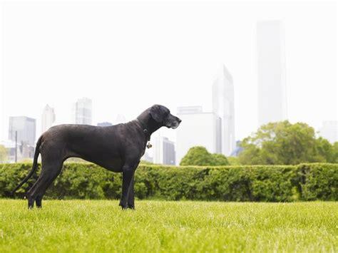 bloat dog dane kill narrow dogs deep chests soon risk
