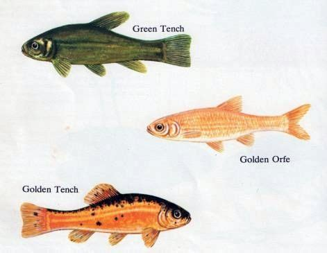 common cold water pond fish  gardening info