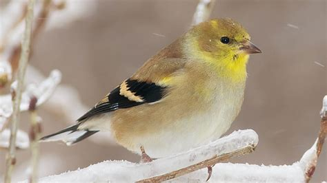 the goldfinches at my feeder are starting to look dull and