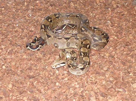 Honduras » snake-planet.eu