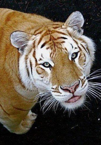 Golden Tiger Animals Beautiful Big Cats