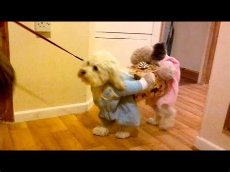 fancy dress costume   dog youtube