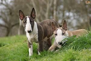 vulnerable uk native dog breeds the terrier group