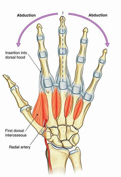 Dorsal Interossei Hand Foot Anatomy