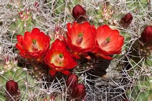 Mojave Desert Cacti Flowers | naturetime