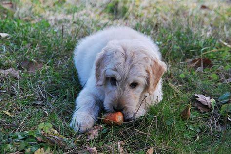 hunde vegetarisch oder vegan ernaehren dogeridoo