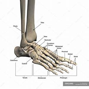 Bones Of Human Foot With Labels On White Background