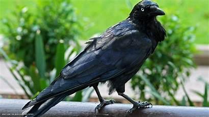 Raven Bird Birds Australian Wallpapersafari Poe Allan