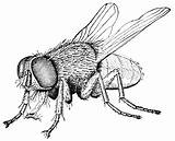 Fly Housefly Clipart Drawing Insect Flying Coloring Bugs Bug Flies Clip Pages Insects Bee Drawings Draw Line Animals Pencil Sheets sketch template