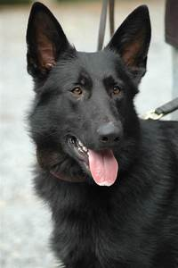 Black German Shepherd | I LOVE MY GERMAN SHEPHERD! | Pinterest