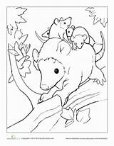 Opossum Coloring Education Animals Babies Together Opossums Animal Mother Opposum Adult sketch template