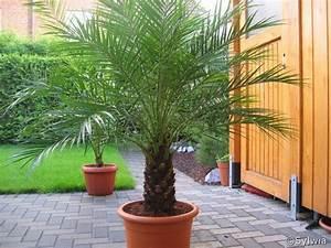 Phoenix Canariensis Pflege : palmy encyklopedia ro lin ~ Lizthompson.info Haus und Dekorationen