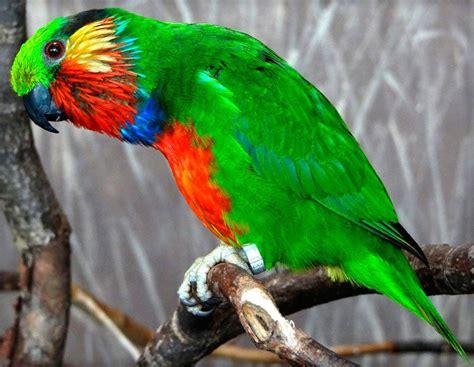 edwards fig parrot psittaculirostris edwardsii exotic