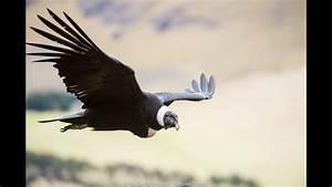 Andean Condor Research