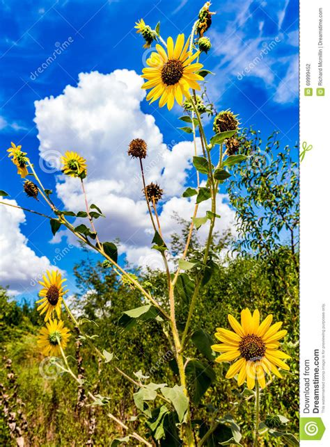 sunflowers message sunflowers in oklahoma stock photo image 69999452