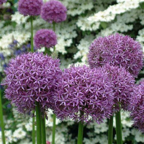 dorset perennials plants for sale direct from dorset
