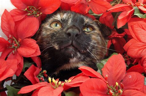 are christmas trees poisonous to cats are poinsettias poisonous not unless you eat 500 leaves