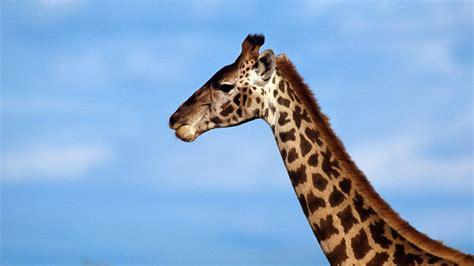 cuello de una jirafa  fondos de pantalla