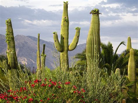 pictures of cactuses desert cactus hd wallpapers
