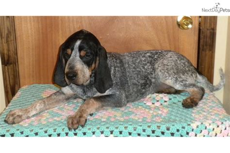 do bluetick coonhounds shed ready for adoption catahoula leopard bluetick