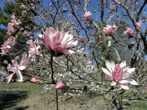 varieties of magnolia trees 15 types of magnolia trees and shrubs pictured