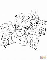 Coloring Ivy Leaves Common Drawing Printable sketch template