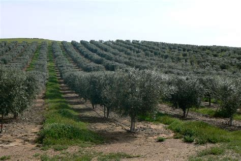 olive trees california the owens creek story award winning olive oils owens creek company