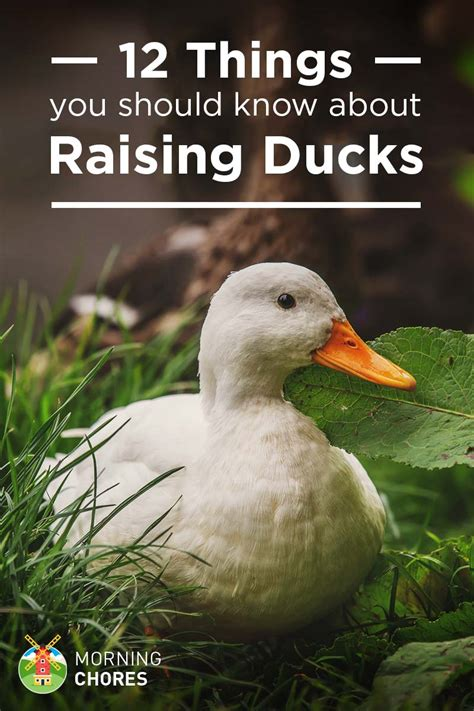 Yellow And White Kitchen Ideas - 12 things you should know about raising ducks