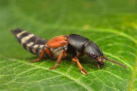 Platydracus Stercorarius 2