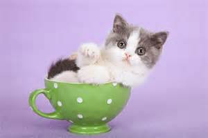 teacup cats for cafechoo image cat in teacup