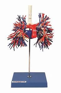 Bronchus And Pulmonary Vessels Model