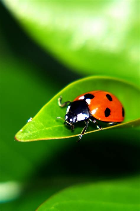ladybug   leaf desktop pc  mac wallpaper
