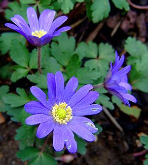 grecian windflowers growing tips the gardening bible