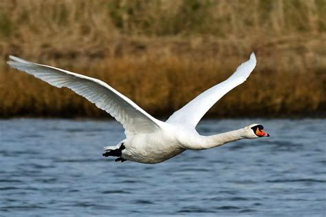 Swan Hd Wallpapers  Beautiful Swan Hd Pictures & Images