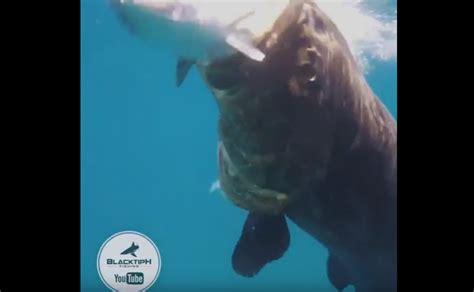 grouper goliath vs bonito