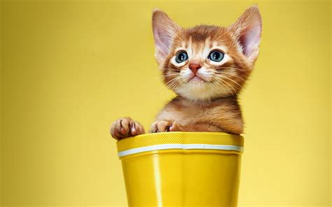 yellow cat kitten cat boots white yellow cat cats wallpaper