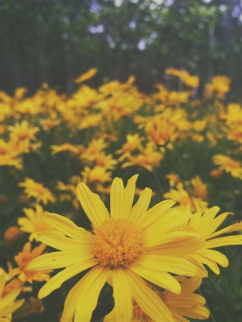 Aesthetic Yellow Flowers Wallpaper Iphone by Grunge Hippie Shadow Yellow Flowers Wanderlust
