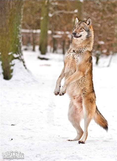 wolf  hind legs google search wolf poses eurasian wolf