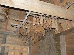 Drying tobacco | Pics4Learning