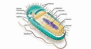 Prokaryotic Cells  Prokaryotes   Definition  Structure