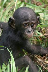 137 best LIFE Bonobo! Cousins, brothers, sisters... images ...