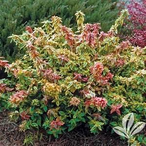 Abelia Grandiflora Kaleidoscope : flowering shrub abelia x grandiflora 39 kaleidoscope 39 size ~ Melissatoandfro.com Idées de Décoration