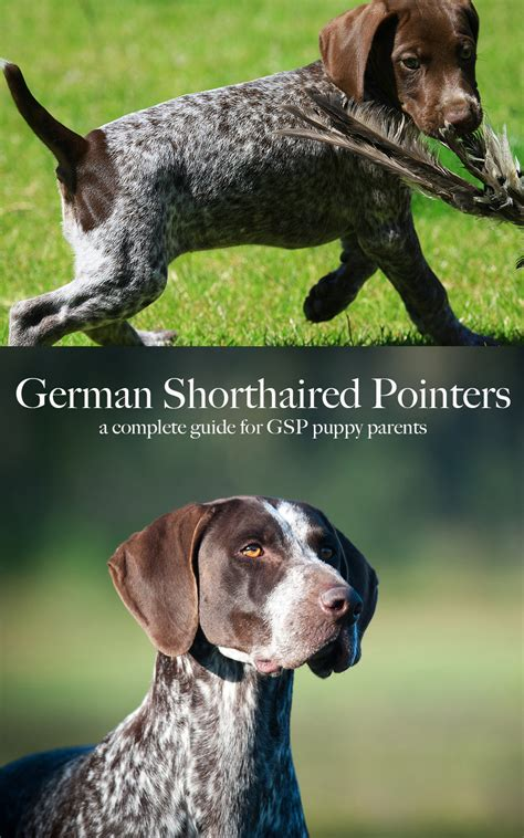 german shorthaired pointer shedding german shorthaired pointer breed temperament when