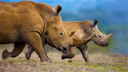 Wildlife Desktop Bing Animal Wallpapers Calf Rhino