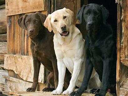 Labrador Retriever Lab Dog Labs Chocolate Dogs