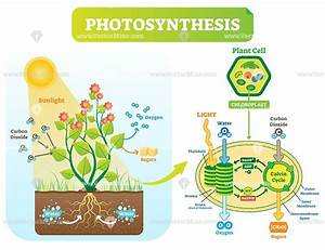 Photosynthesis Biological Vector Illustration Diagram